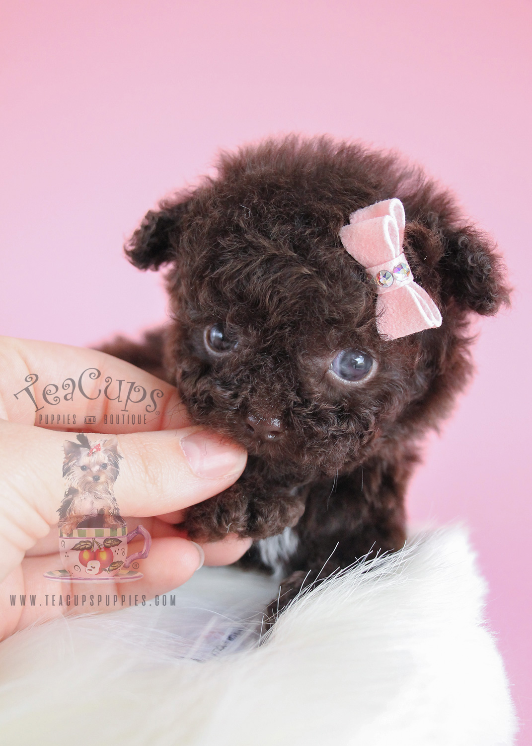 Female Chocolate Poodle Puppy For Sale