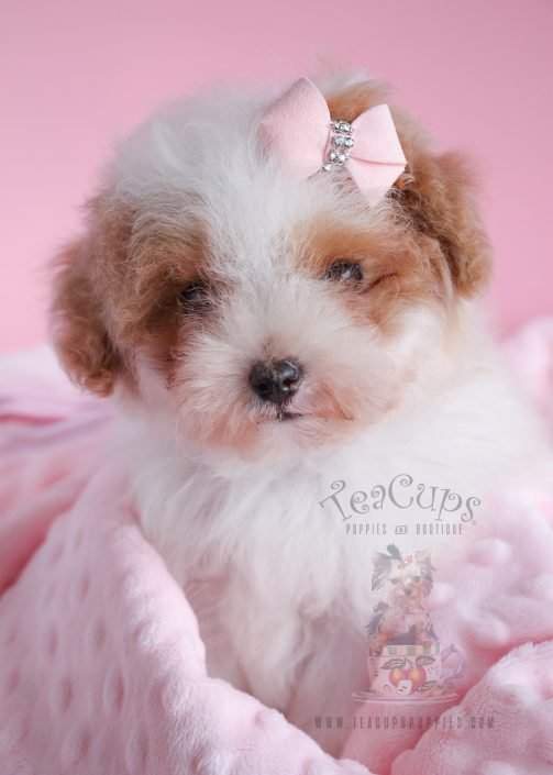 White Poodle Puppies For Sale Florida