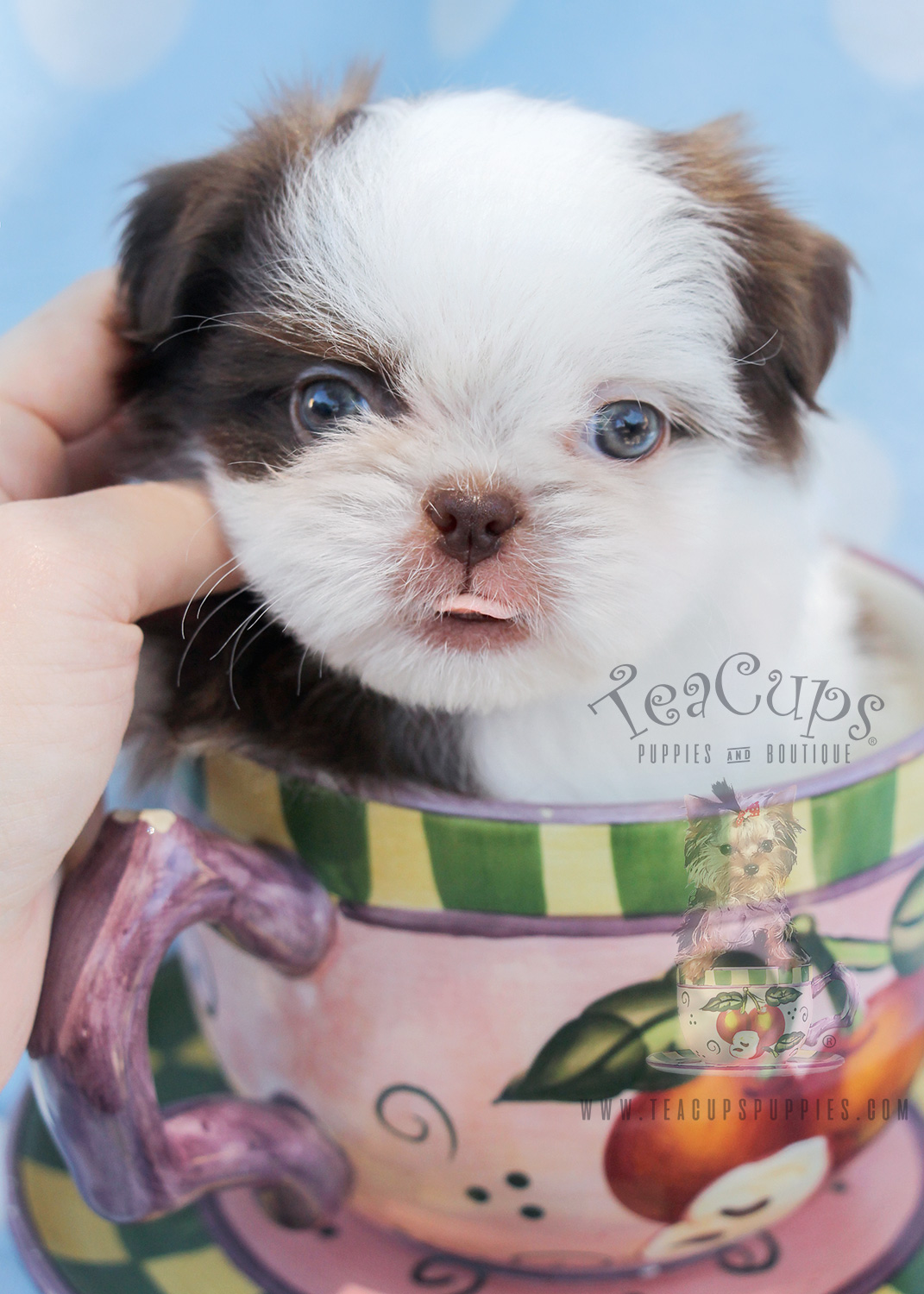Shih Tzu Puppy For Sale by TeaCups, Puppies and Boutique