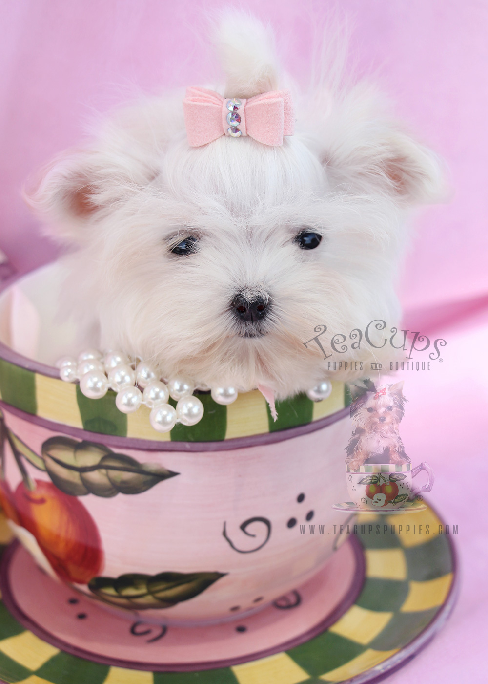 Teacup Maltese #083 For Sale in Davie