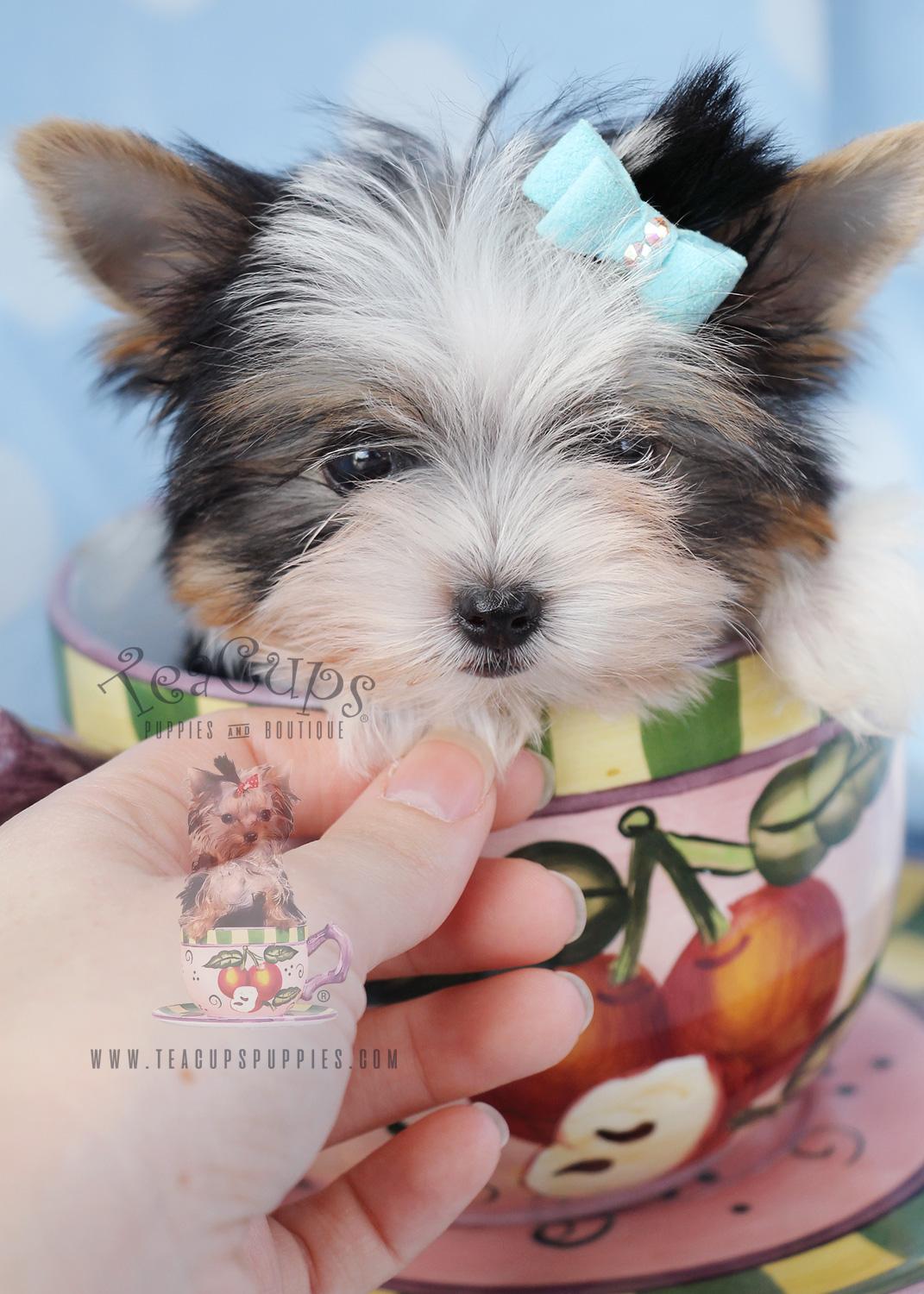 Parti Yorkies For Sale at Teacups