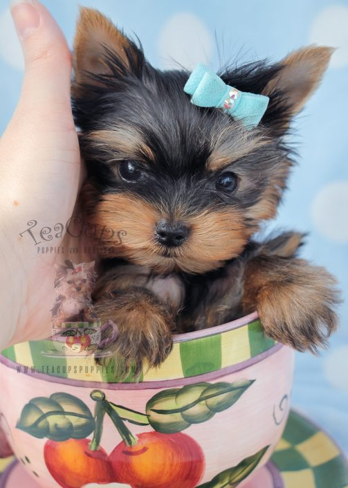 Male Teacup Yorkies For Sale