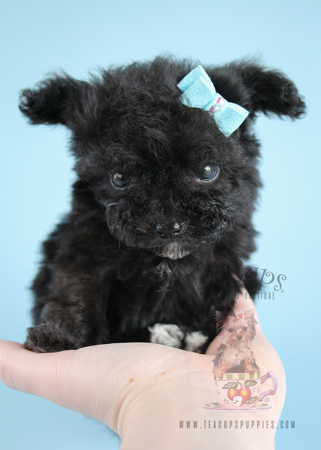 THOU SHALT NOT BREED TEACUP PUPPIES - Lets Adopt! Global