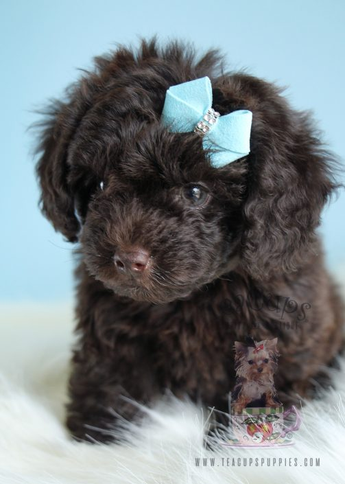 Adorable Male Toy Chocolate Poodle Puppies