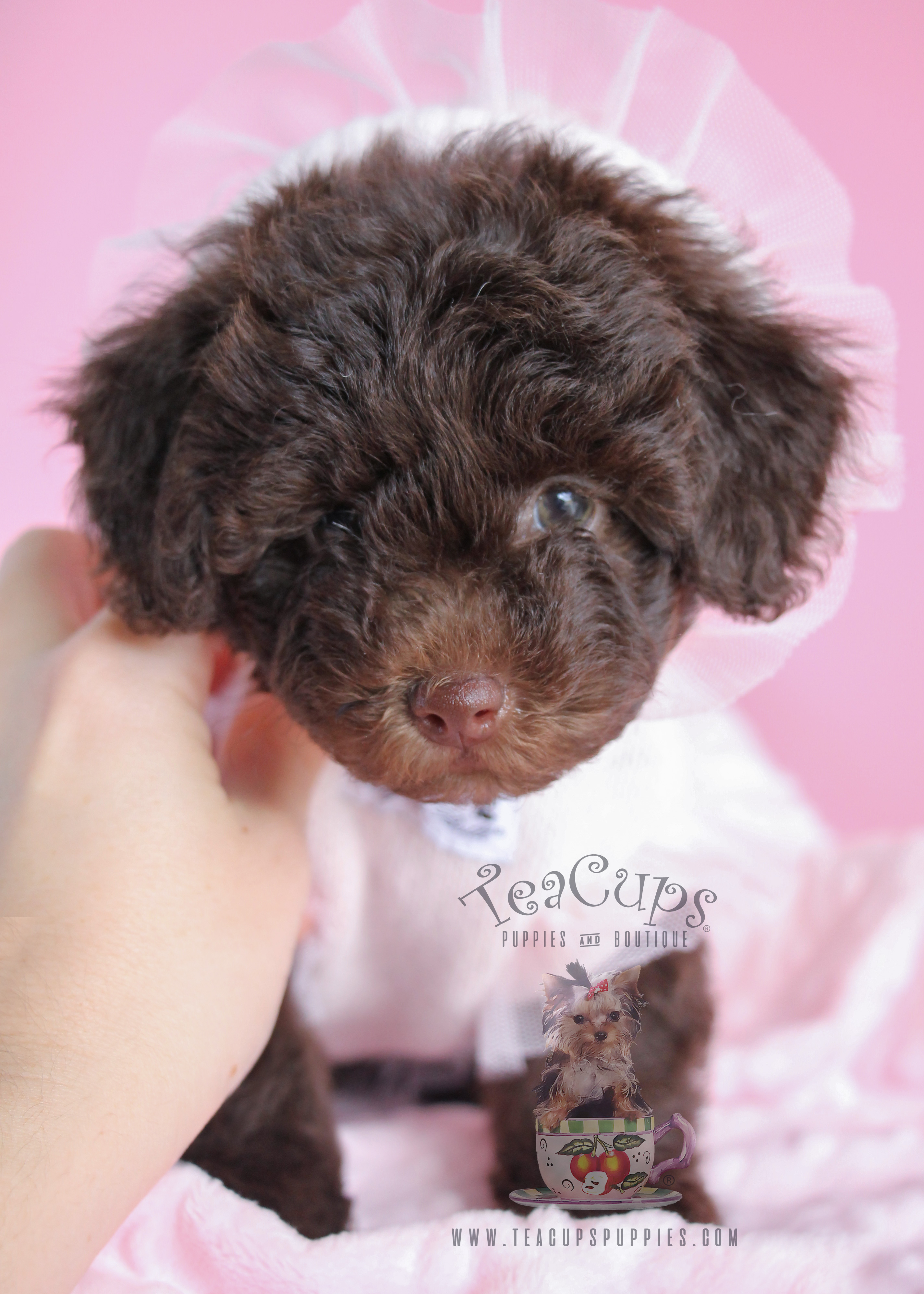 Female Toy Chocolate Poodle Puppies For Sale
