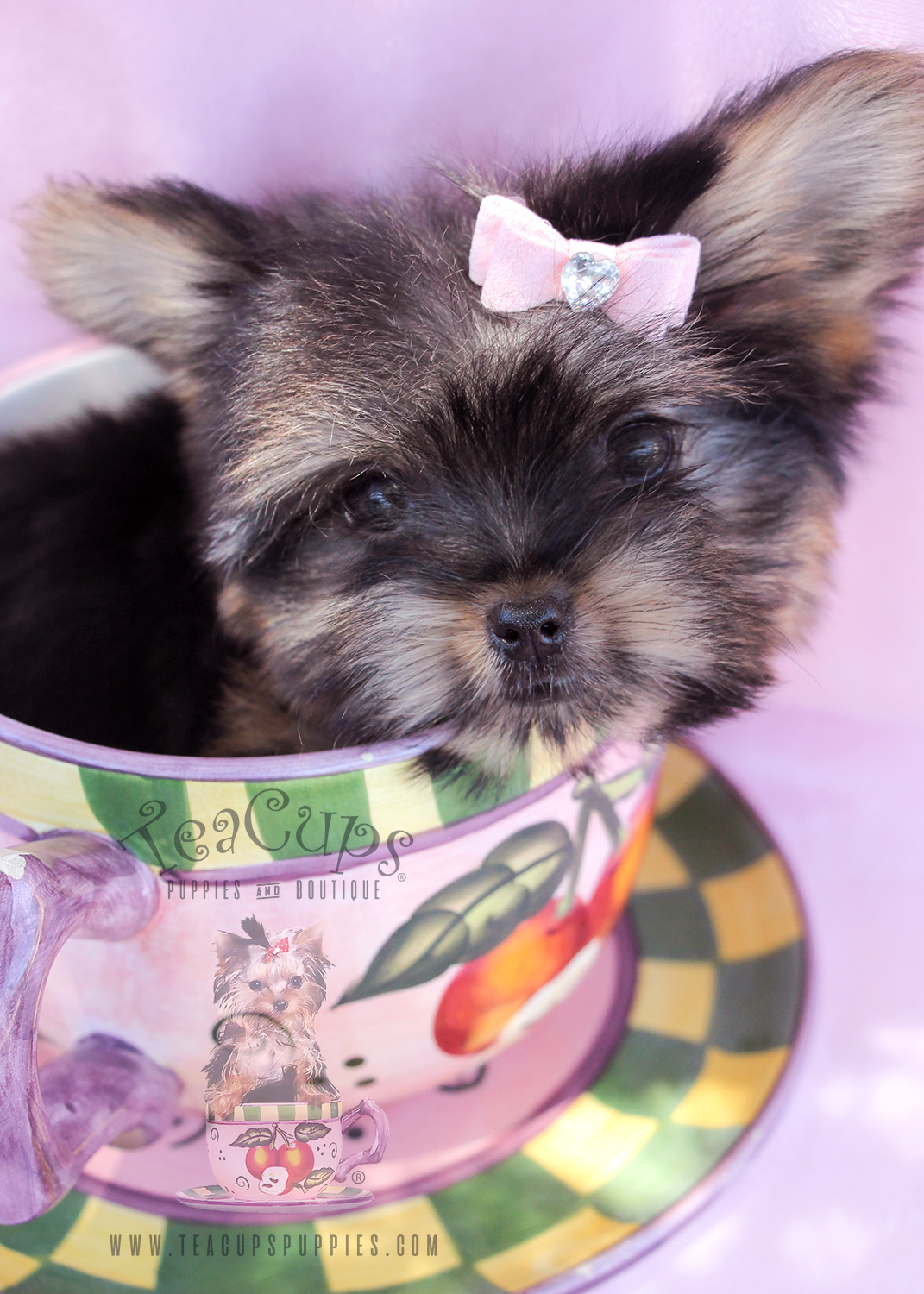 Yorkie puppies for sale in South Florida
