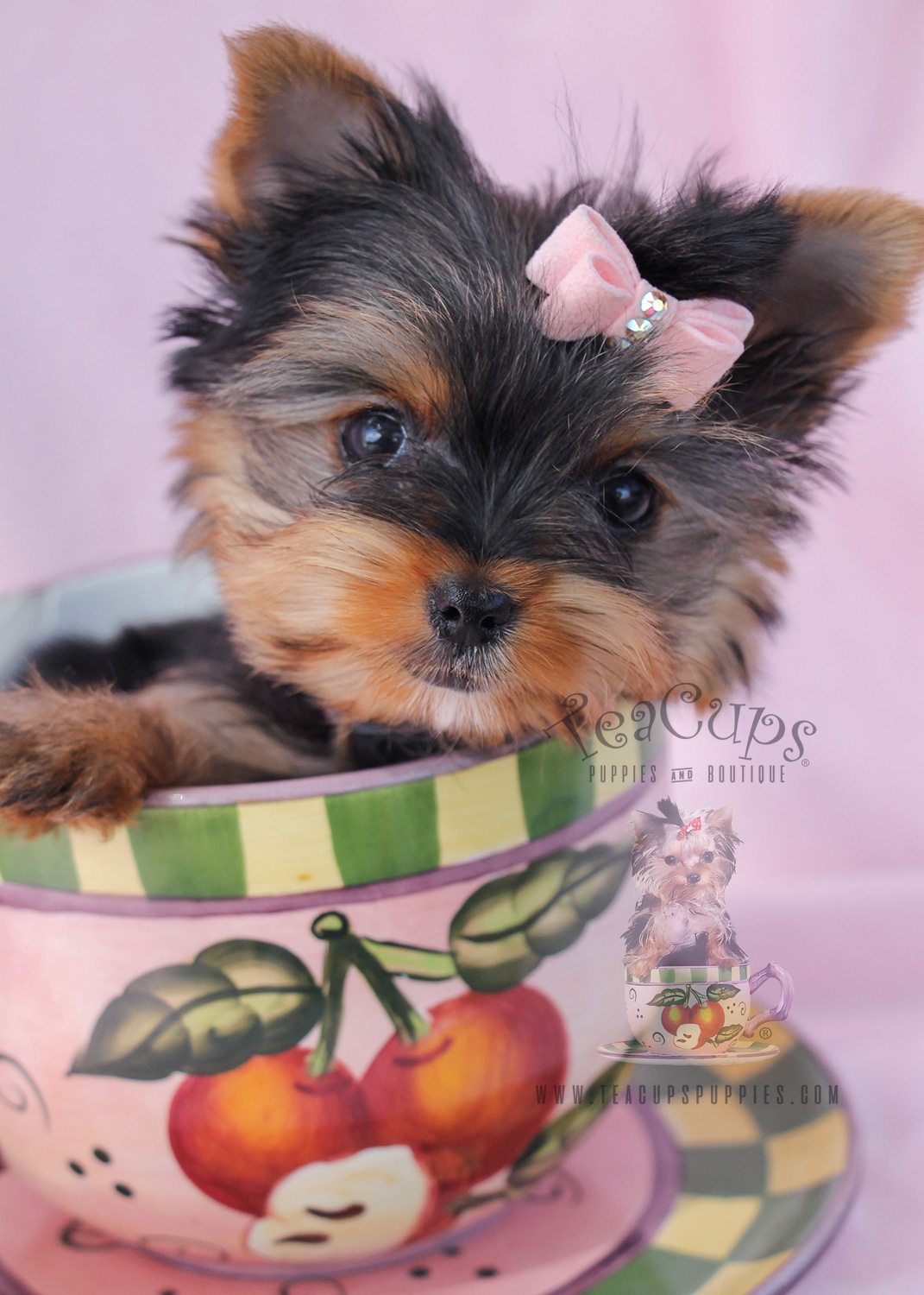 Toy Yorkie Puppies For Sale