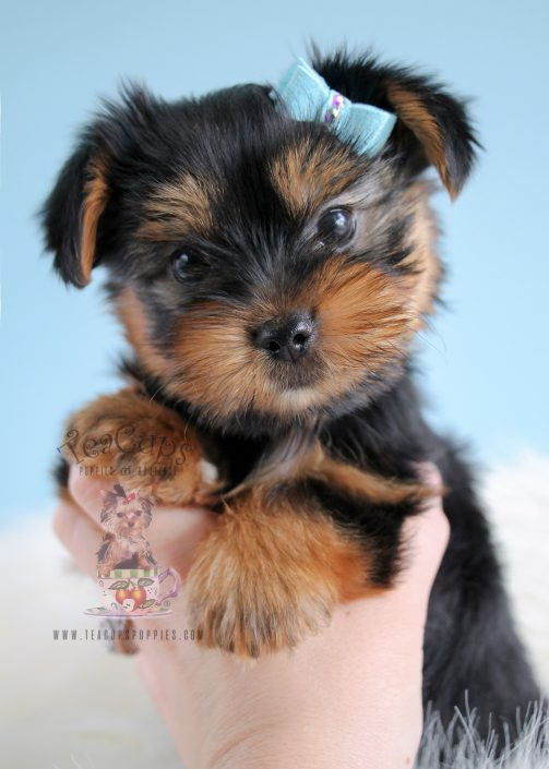 Male Yorkie Puppies For Sale in South Florida