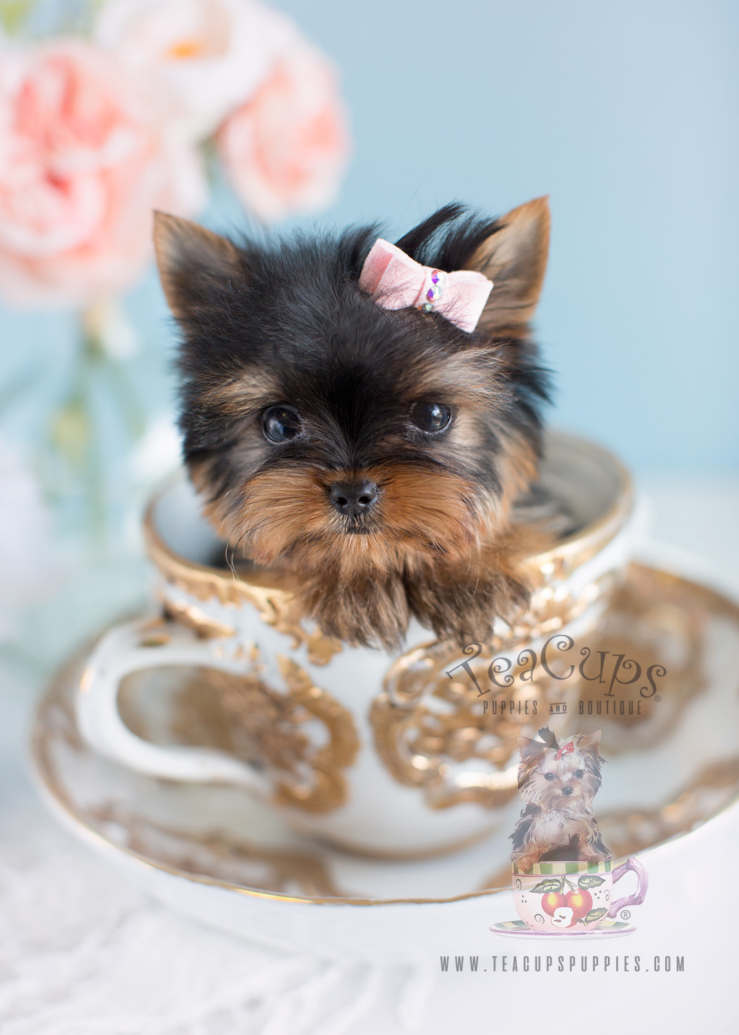 Tiny Female Yorkie Puppies