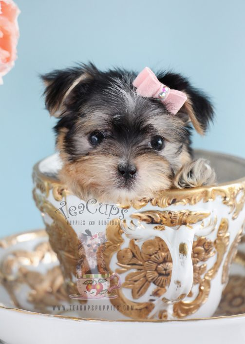 Adorable Female Morkie Puppy South Florida