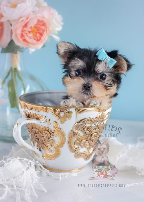 Morkie Puppy For Sale by Teacups Puppies