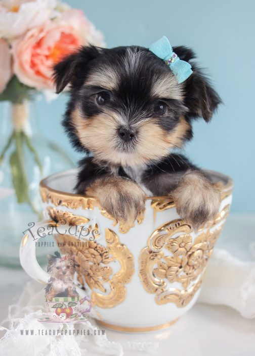 Designer Male Morkie Puppies
