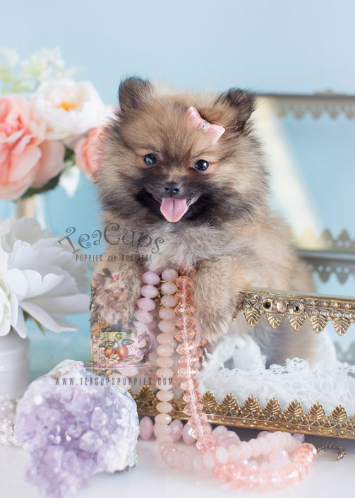 Female Pomeranian Puppy #118 For Sale
