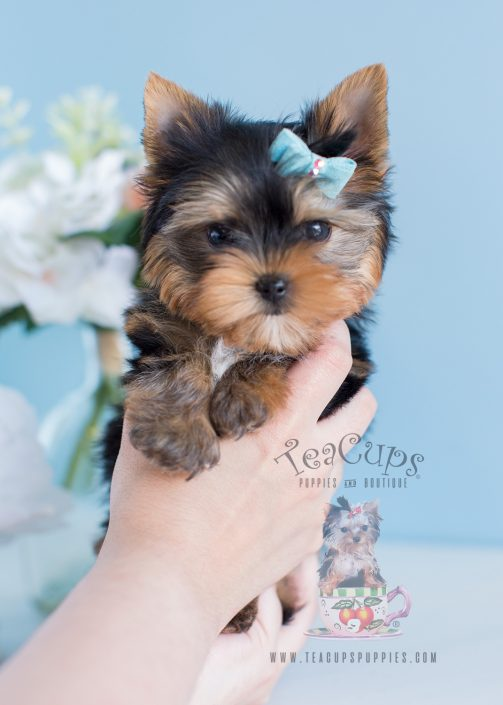 Male Yorkie Puppies Davie