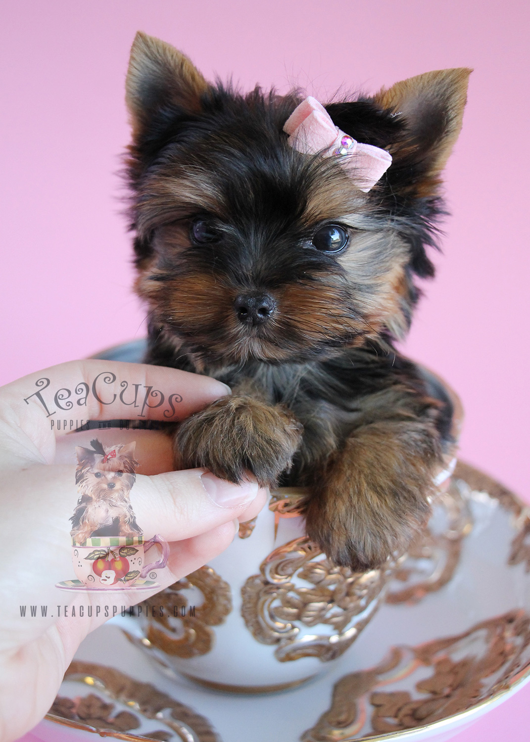 delightful little yorkie puppies south florida