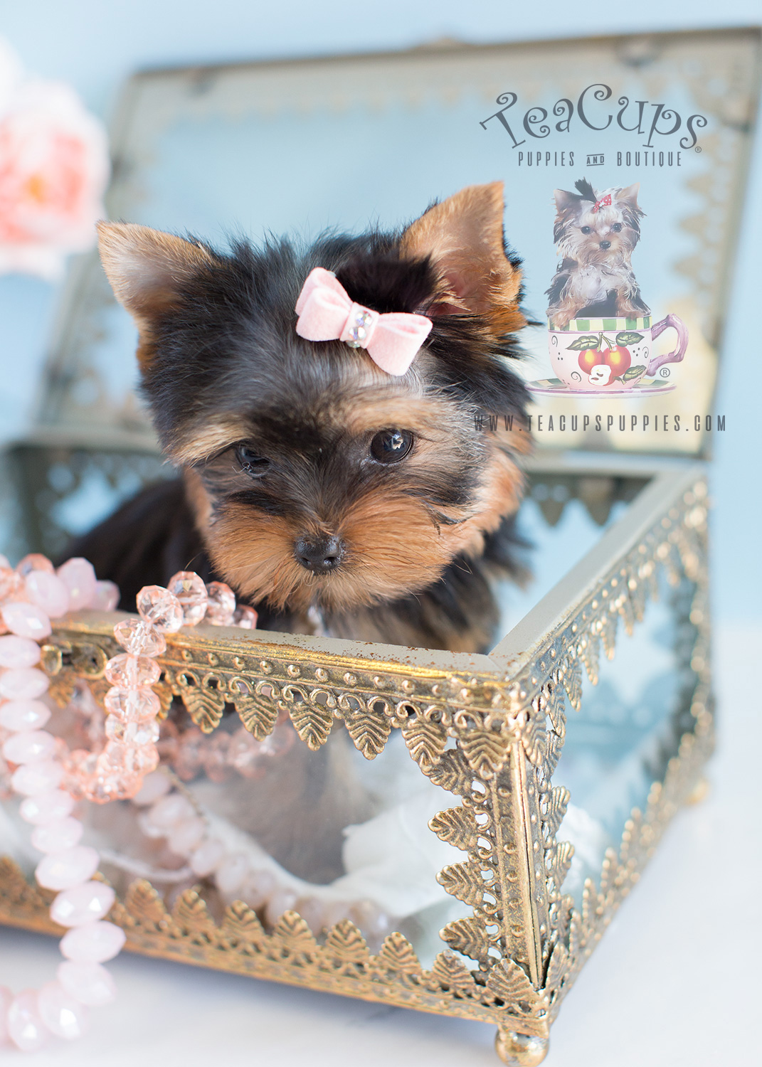 Adorable Teacup Yorkie in a Jewelry Box