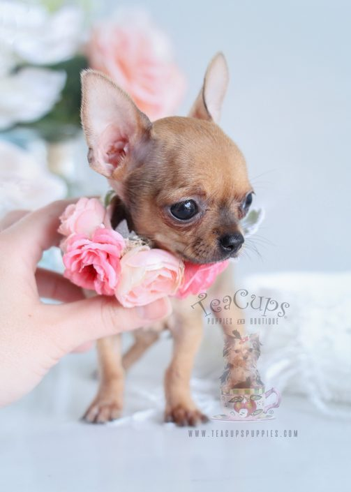 Teacup Chihuahuas and Chihuahua Puppies For Sale by ...