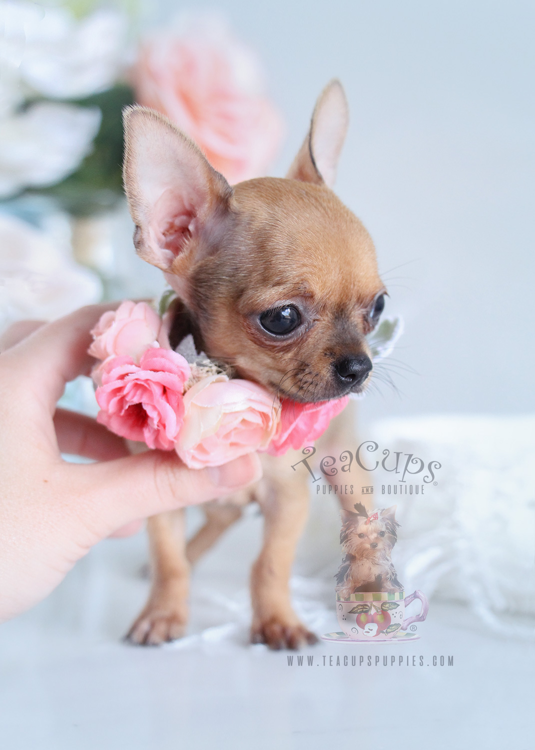 fawn chihuahua puppies for sale in florida