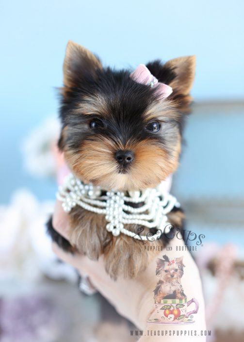 Adorable Female Toy Yorkie South Florida