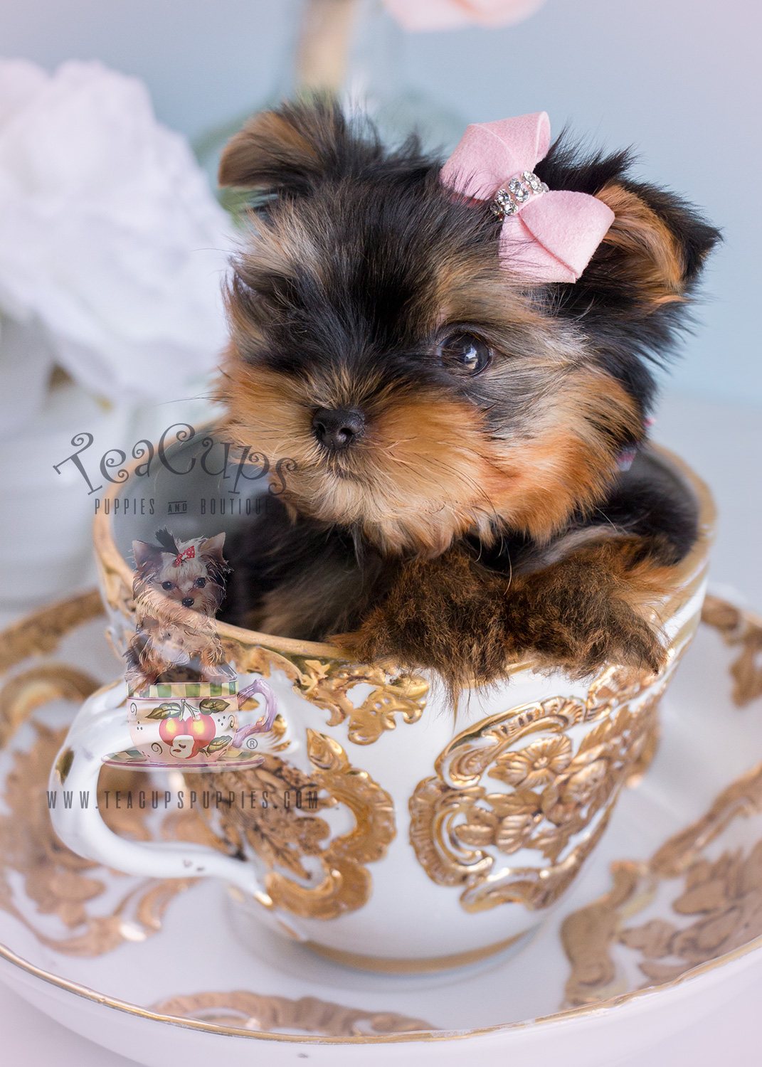 Yorkshire Terrier Puppy For Sale South Florida Teacups