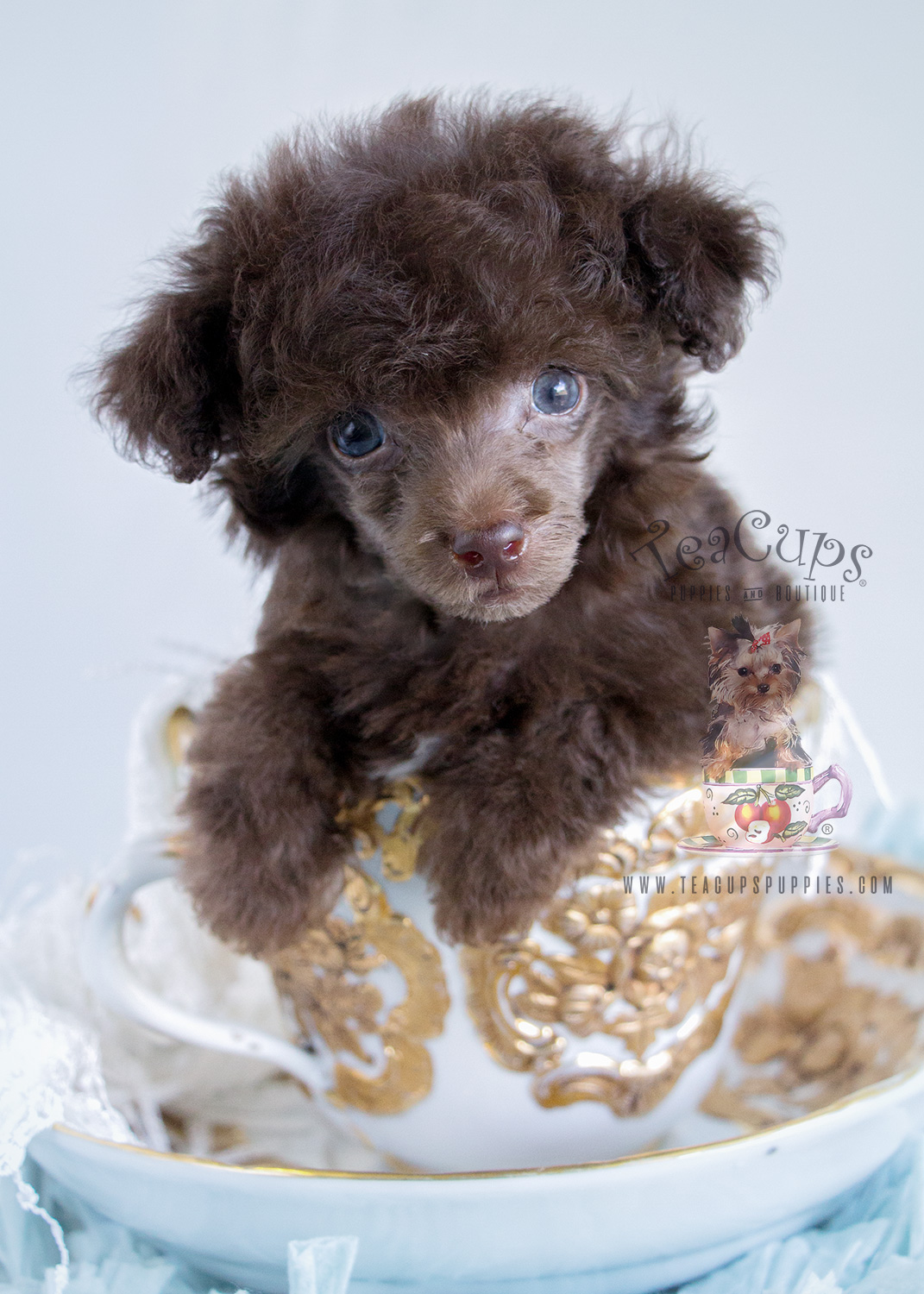 Female Chocolate Poodle For Sale in Davie