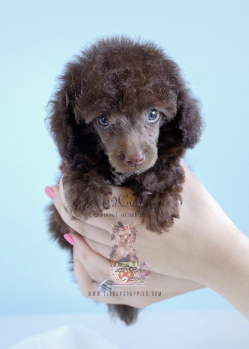 Chocolate Poodles by Teacups in Davie FL