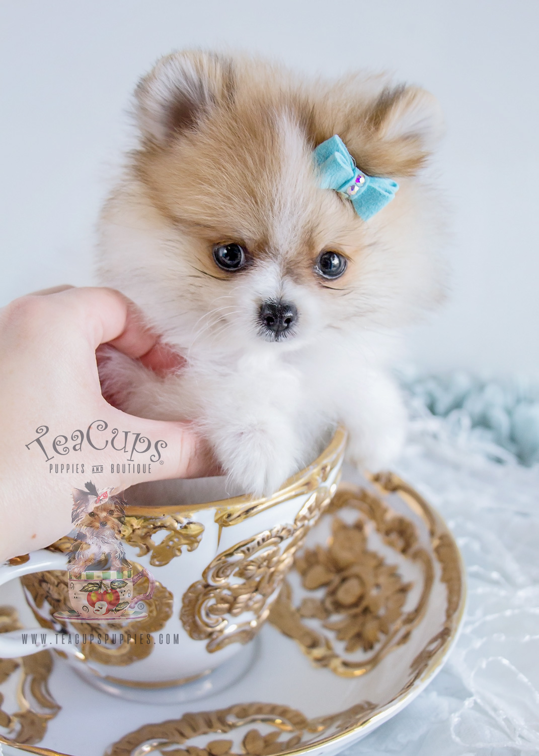 darling teacup pomeranian puppies for sale