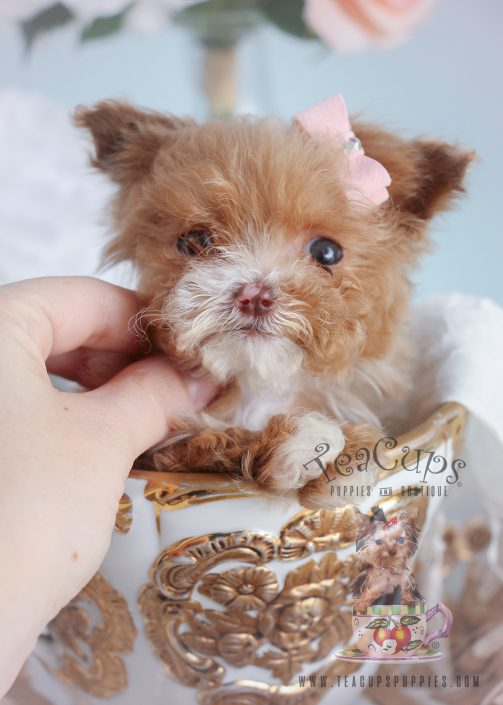 Female Micro Teacup Poodle