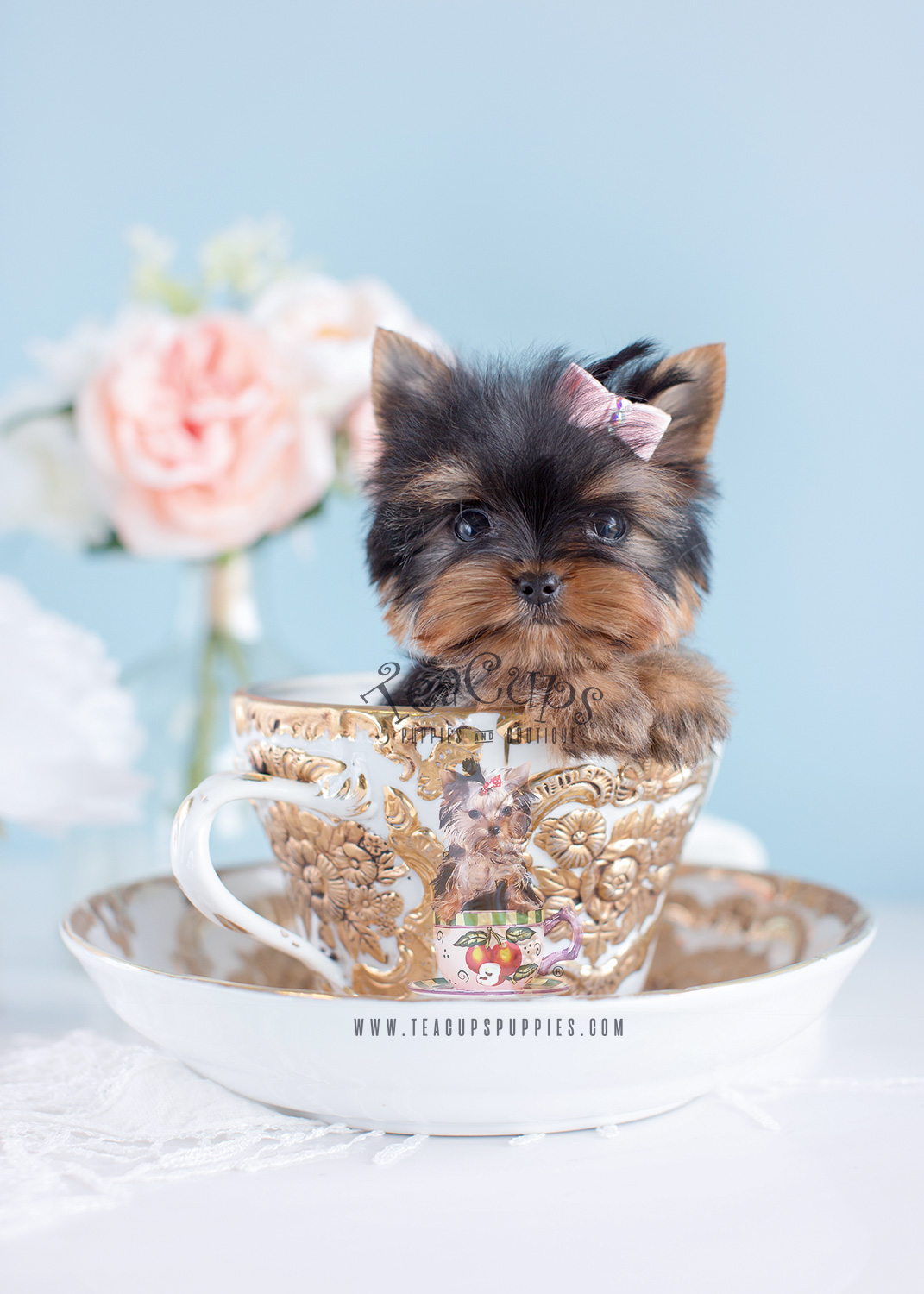 Cute Little Yorkie Puppies South Florida Teacups