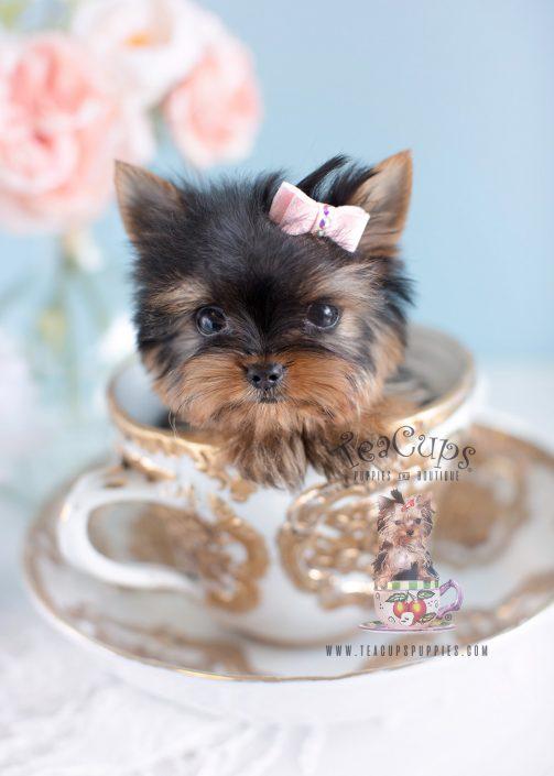 Teenie Tiny Micro Teacup Yorkie Puppy #124 For Sale