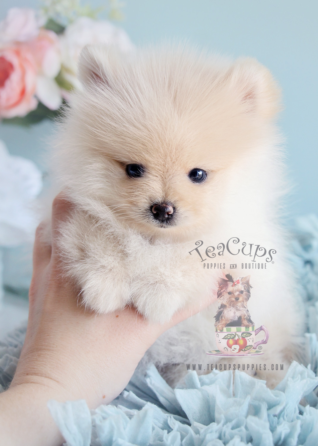 Male Pomeranian Puppies in Florida