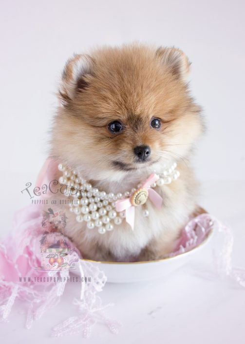 Teacups South Florida Pomeranians