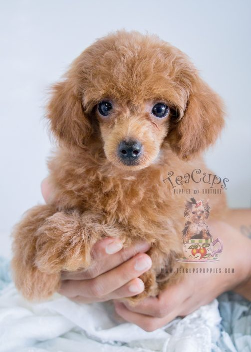 Red Poodles For Sale in Davie at Teacups Puppies and Boutique