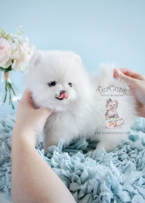 White Pomeranian Puppies South Florida