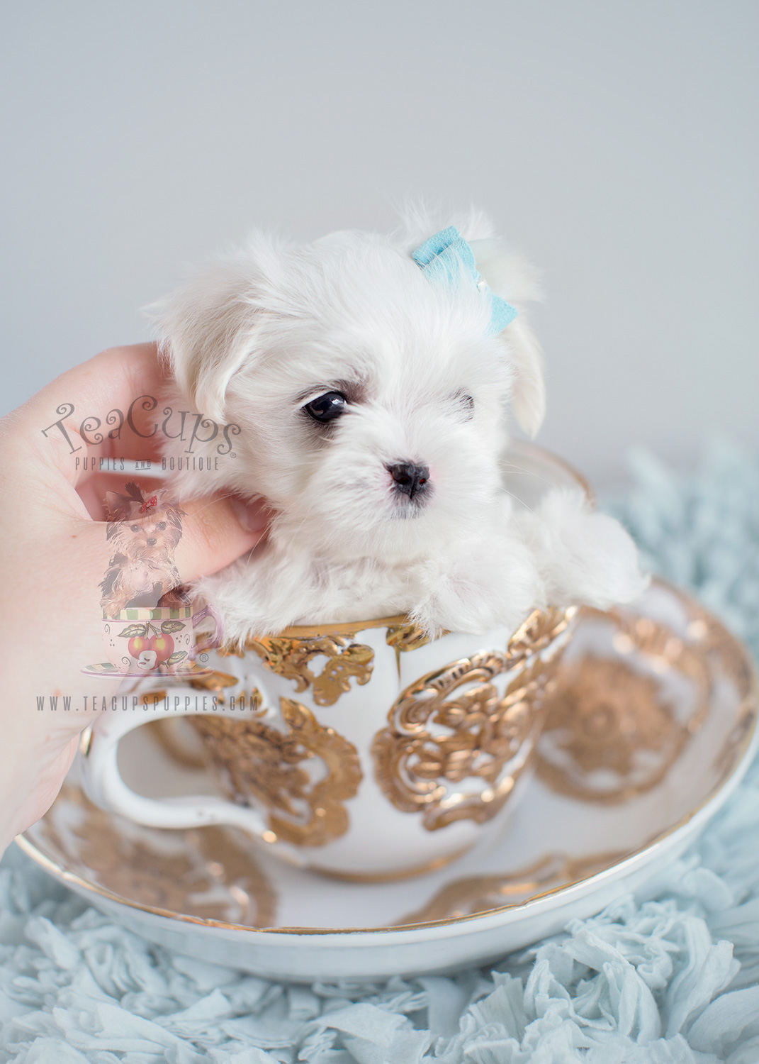 Tiny Male Maltese Puppy #145 For Sale