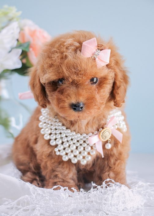 Red Toy Dogs : Teacup poodles and toy poodle puppies for sale by teacups