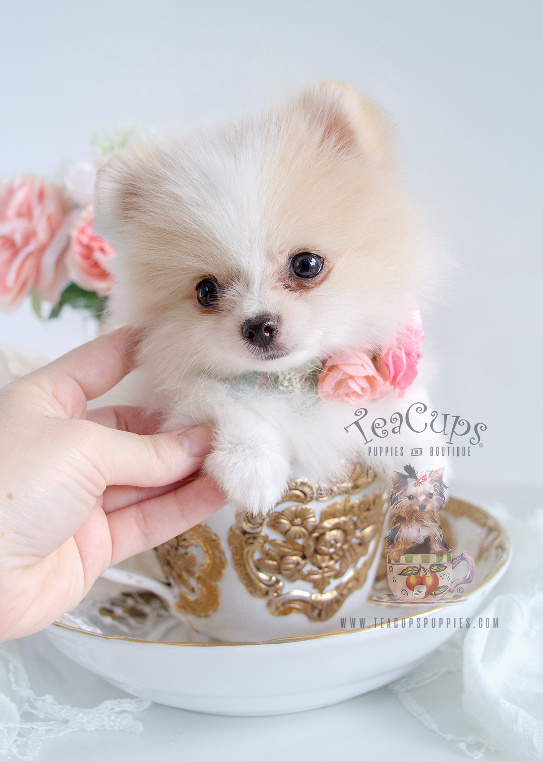French bulldog puppy for sale south florida teacups - Cute pomeranian teacup puppy ...