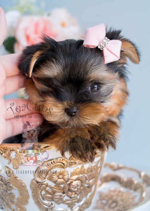 Yorkie Puppies Broward County Florida