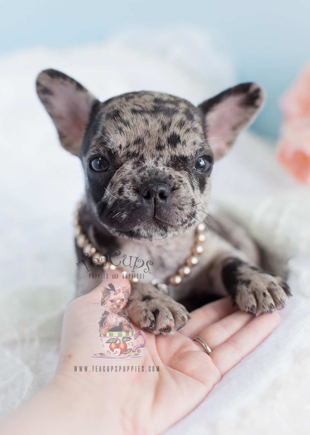 Blue Merle Frenchie For Sale