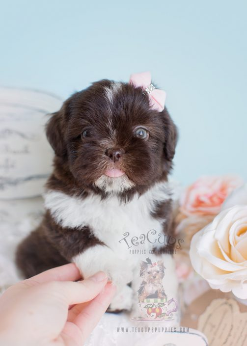 Adorable Female Chocolate Shih Tzus