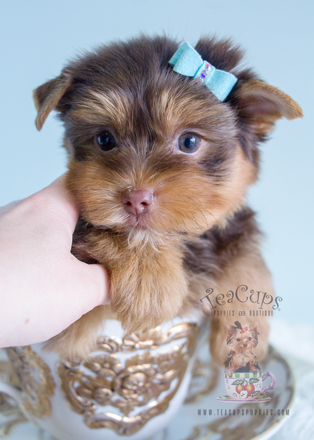 Chocolate Teacup Yorkies in Davie Florida