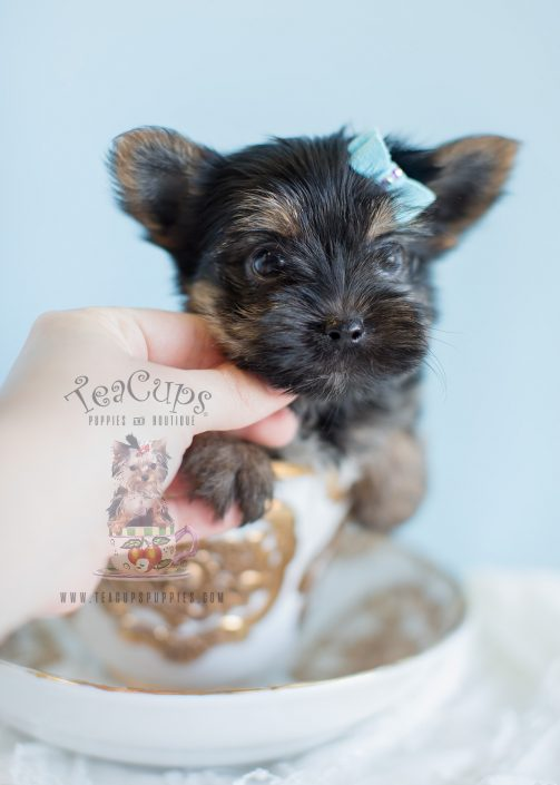 Gorgeous Morkie puppy by TeaCup Puppies
