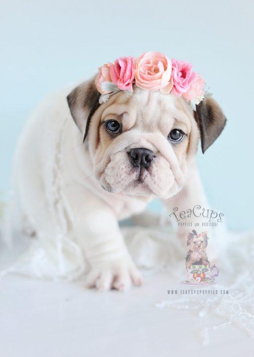 Female English Bulldog Puppy For Sale