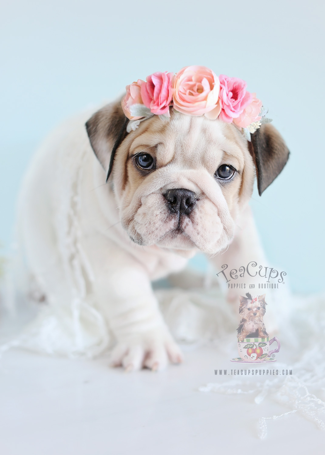 Female English Bulldog Puppy For Sale