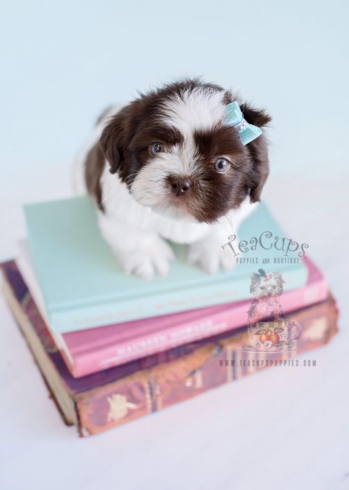 Adorable Male Shih Tzu Puppies