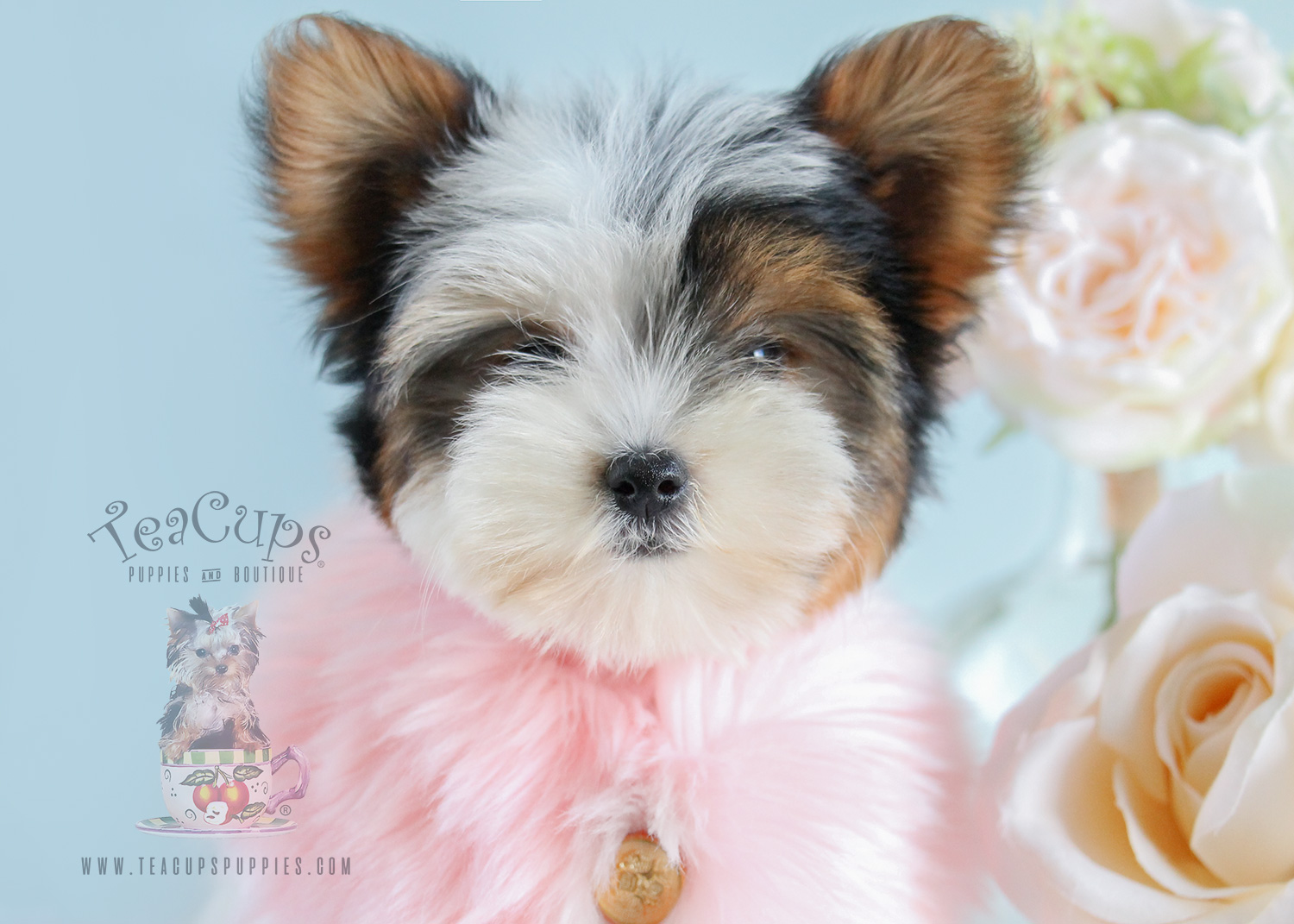 Parti Yorkie Puppy #178 For Sale Teacup Puppies