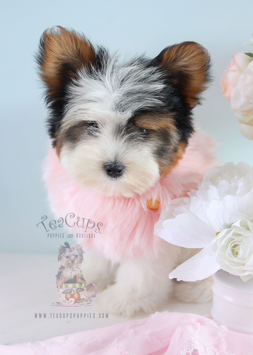 Beautiful Parti Yorkie puppy for sale by TeaCup Puppies