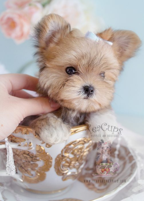 Morkie Puppy #176 For Sale Teacups Puppies