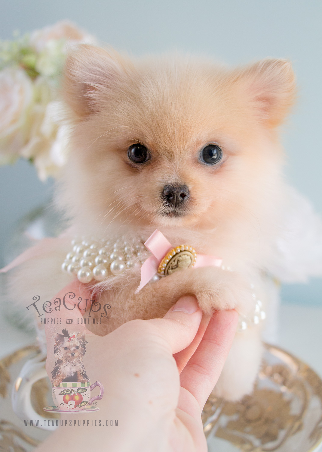 Female Pomeranian Puppies at Teacups