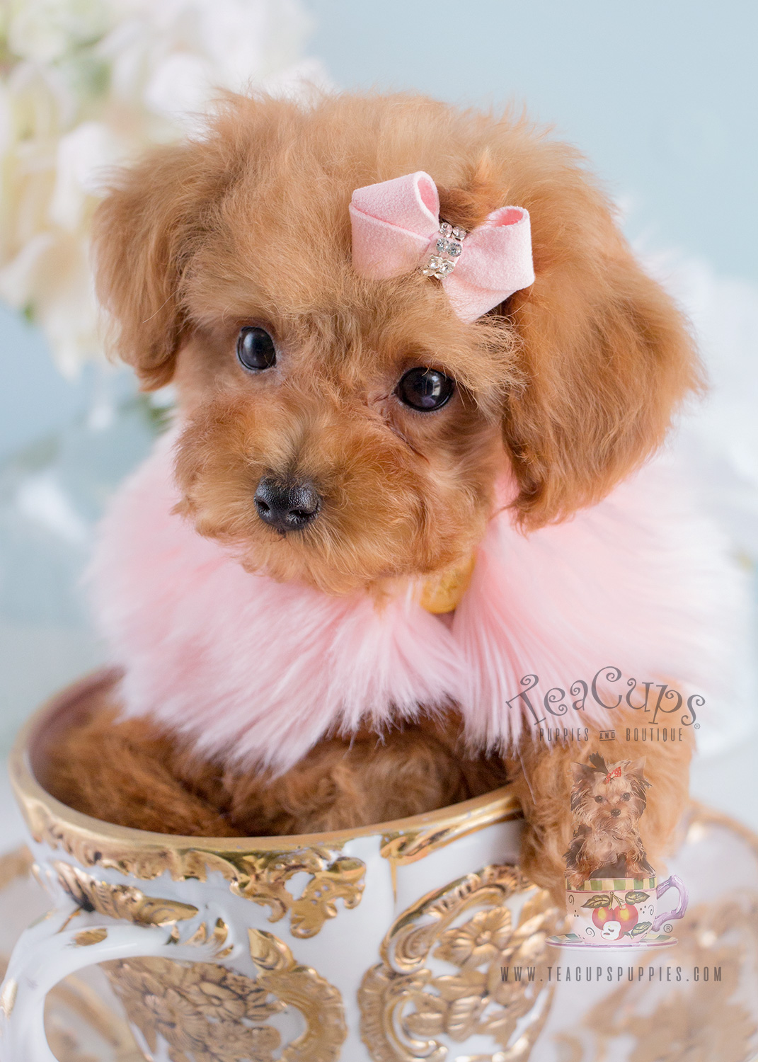 Toy Poodle Puppy For Sale #174